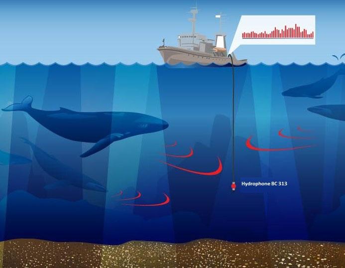 Hydrophone BC 311 - marine mammals studies